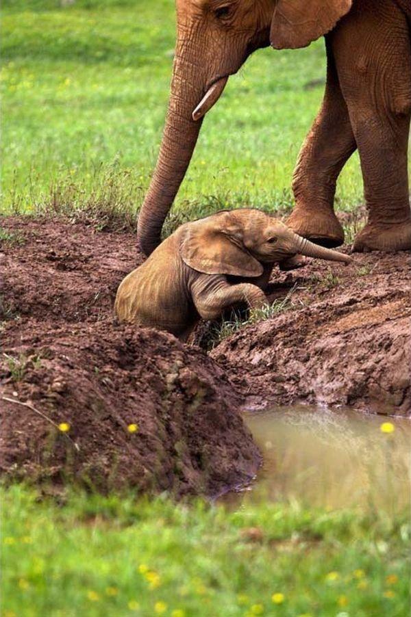 pečování slon