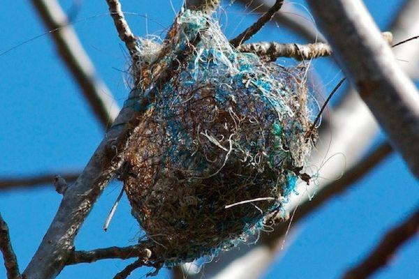 gnijezdo svraka je pun plave trake i konjske dlake