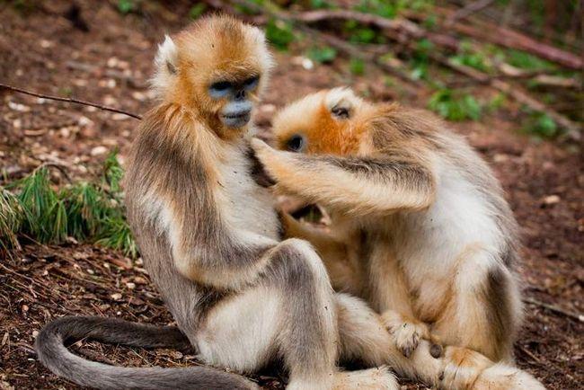 V přírodě, vše je úžasné - a to i lékaři patří mezi opicemi.