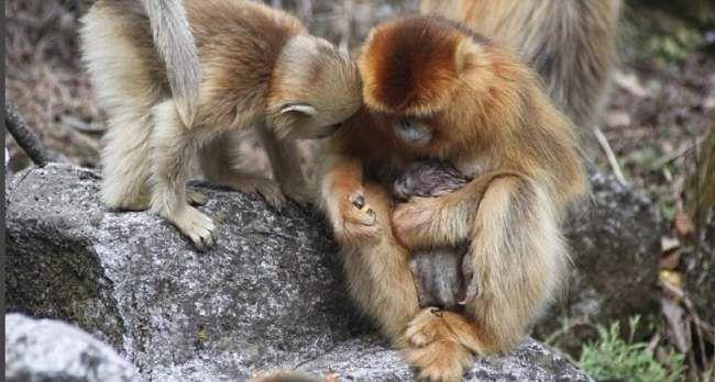 Opice-porodní asistentka byla senzace.