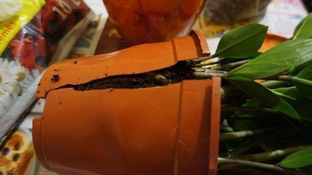 Разрезанный горшок с замиокулькасом
