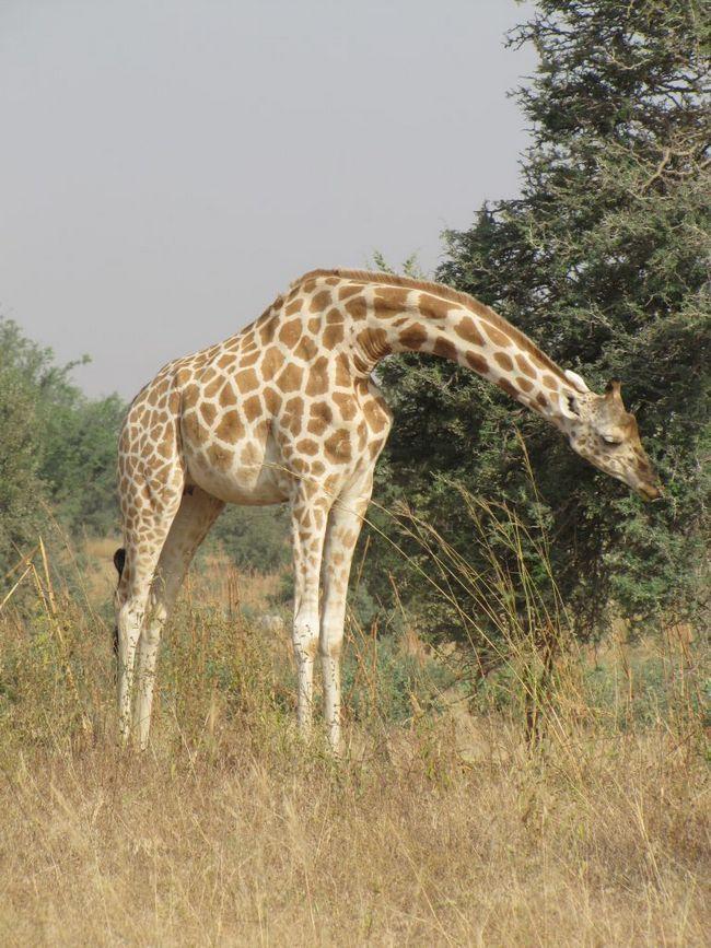 Zapadnoafričke žirafe (Giraffa camelopardalis Peralta).