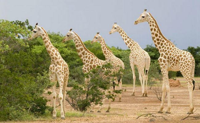 . Zapadnoafričkih Žirafa je ugrožena.