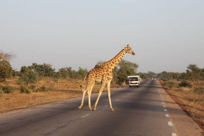 Stanovnika zapadnoafričkih žirafe ne prelazi 175 životinja.