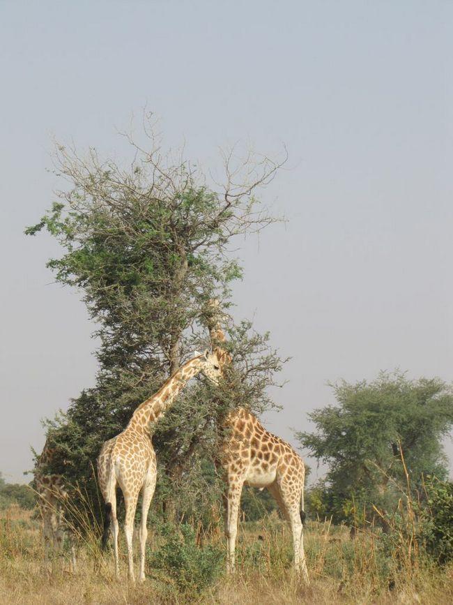 Danas je životinja uobičajena samo u Niger.
