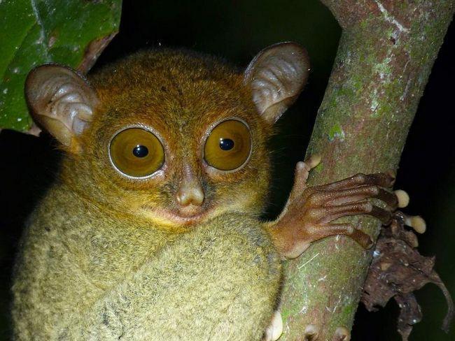 Horsfield je Tarsier - noćne životinje.