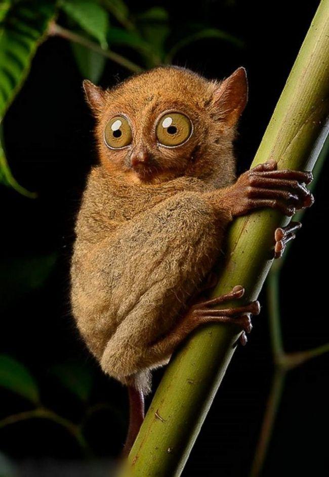 Dnevna tarsiers provodi u šikara biljaka, koji se nalaze na visini od 3 - 5 metara iznad tla.