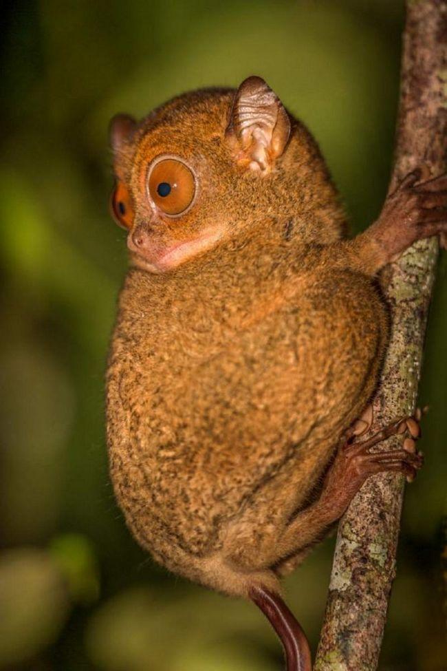 Zapadni tarsiers su mesožderi primata.