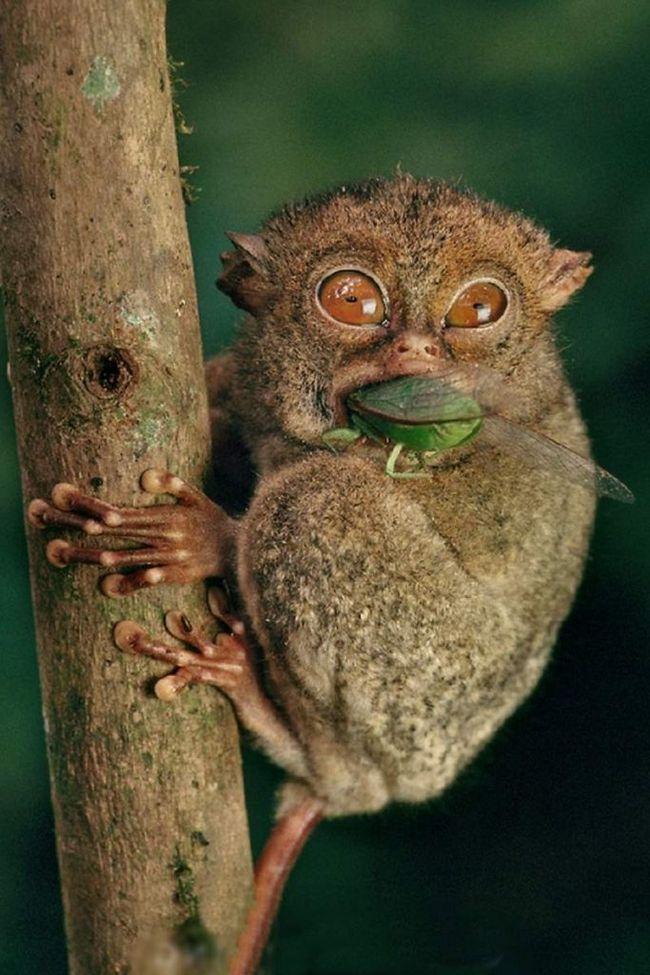 Glavna opasnost za stanovništvo zapadne tarsiers je krčenje šuma.