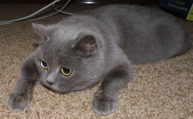 Britanski Blue Cat fotografija