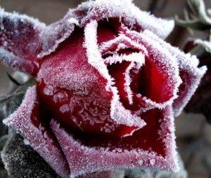 Защита роз перед зимой