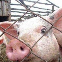 Защита свиней от гриппа