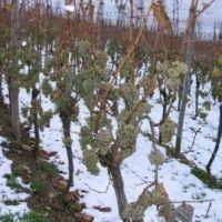 Zaštita grožđe od mraza