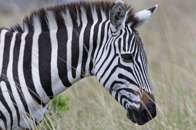 Zebra (hippotigris)