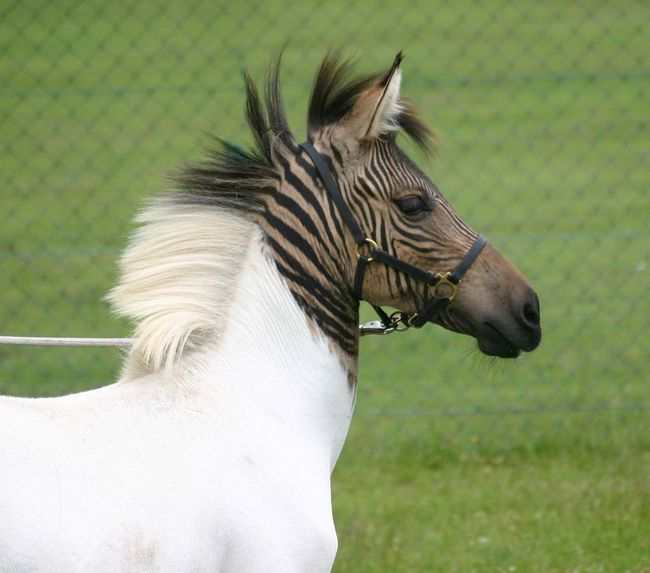 Зебра плюс лошадь, что в итоге?
