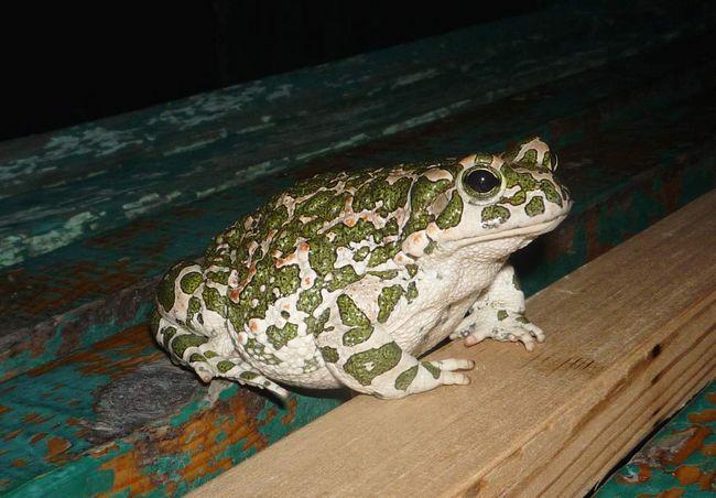 Nádrže zelené žaby sa požadujú len v období rozmnožovania.