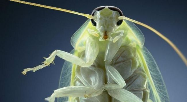 Зеленый банановый таракан (лат. Panchlora nivea)