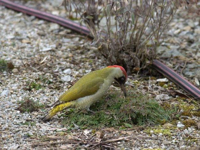 Sedavý pták usadí v různých zalesněné krajiny s listnatými stromy a otevřených prostorů blízkých.