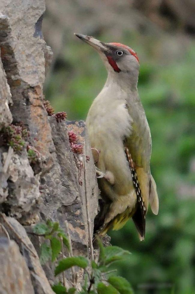 Vzhledem k tomu, připojení ke konkrétnímu zelené datel hnízdišť jsou ti samí ptáci často znovu sešel v následujících letech.
