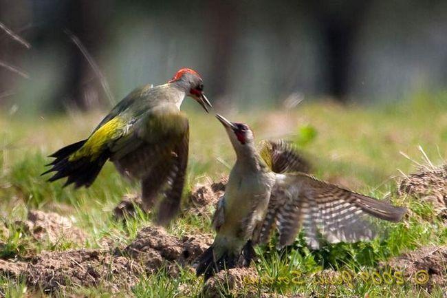Nejprve se setkali s ptáky honili sjednocená, se dotýkají zobáky, pak samec krmí ženský rituál, který obvykle předchází páření.