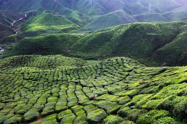 Зелёный чай в больших количествах вместо пользы начинает приносить вред