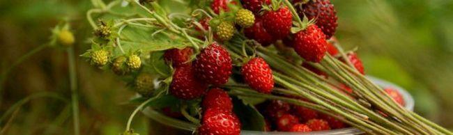 Căpșuni Ali Baba - o grădină parfumată de un miracol pe dvs.