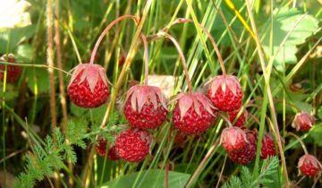Земляника виктория в вашем саду: советы по выращиванию