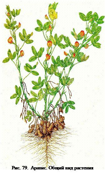 Groundnut (arahide)