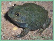 Жабапустынная австралийская / chiroleptes platicephalus
