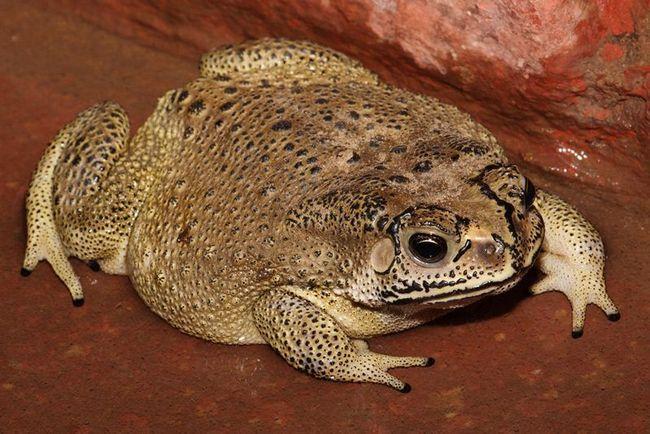 Malayan žaba (Bufo melanostictus).