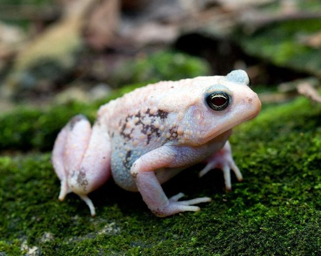 American žaba (Anaxyrus Americanus, ili Bufo Americanus).