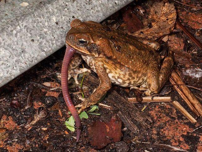 Cane žaba ili aga (Bufo Marinus) jede glista.