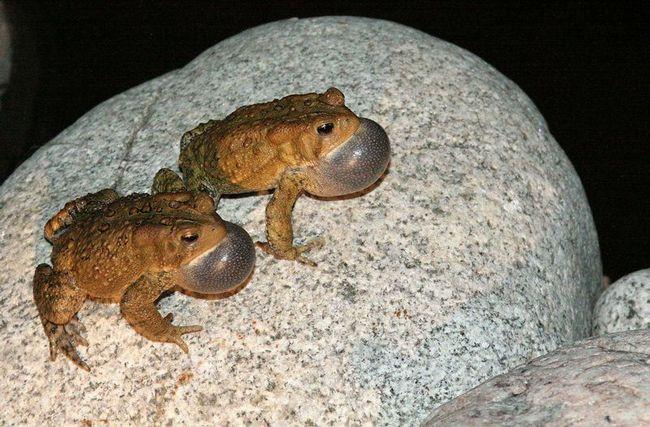 Upadljivo muško američki žaba.