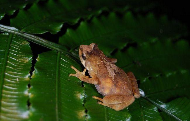 Abdomena viviparan Toad (Nectophrynoides Tornieri) prozirna jaja zrenje.