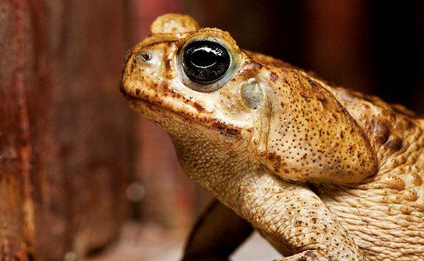 Zajednički žaba je uobičajena u cijeloj Eurasia i North-West Africi. Ovo je, međutim, uzeti u Kostariki. (Foto Paul Souders / Corbis).