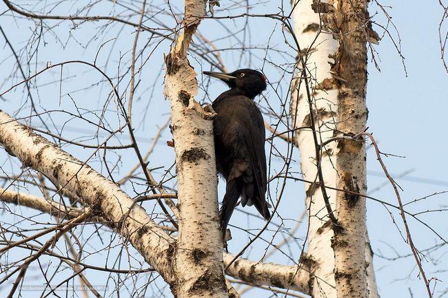 Добывая таким образом себе пропитание черный дятел очищает лес от вредителей. В частности от короеда.