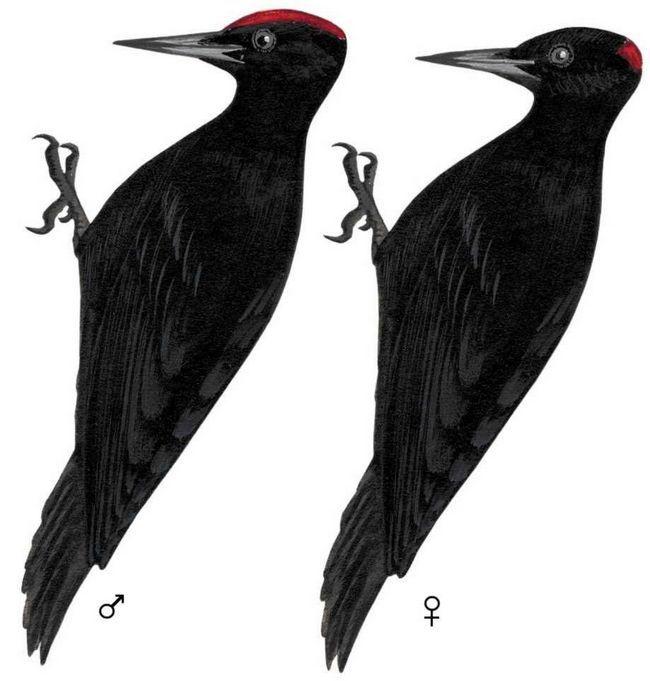 У самца желны более выраженная красная