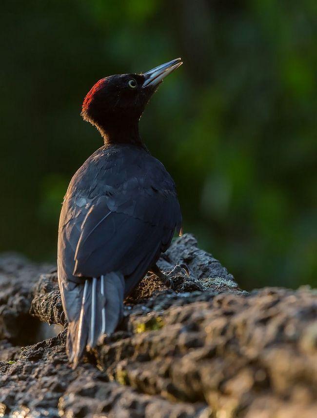 Являясь санитаром леса желны являются очень ценными птицами. Впрочем, как и все животные на земле.
