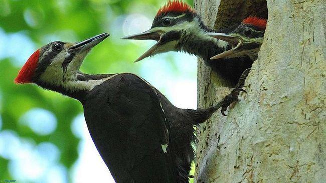 Своих подросших птенцов черный дятел еще очень долго подкармливает и опекает.