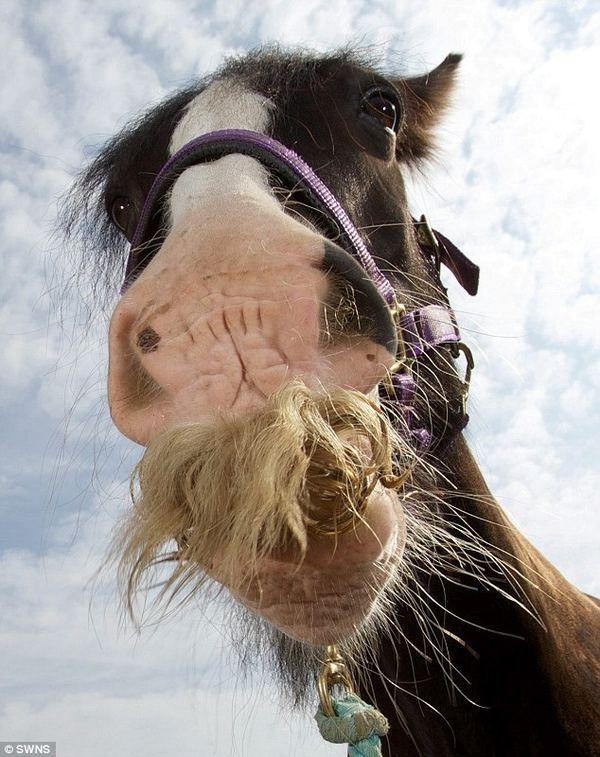 Жеребец алфи - самый усатый конь великобритании