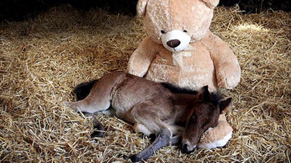 Magare, koji je ostao bez majke, pričvršćen na plišanom igračkom