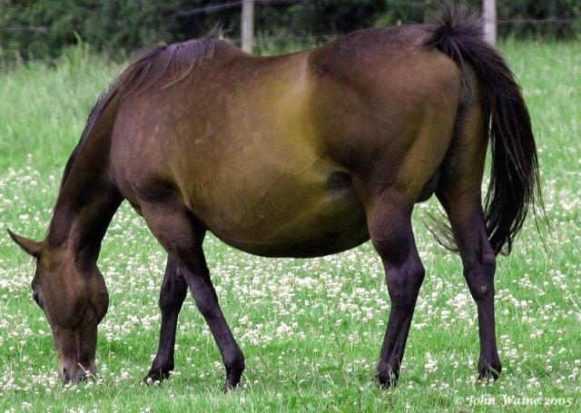 Жеребость и выжеребка лошади (беременность и роды лошади)