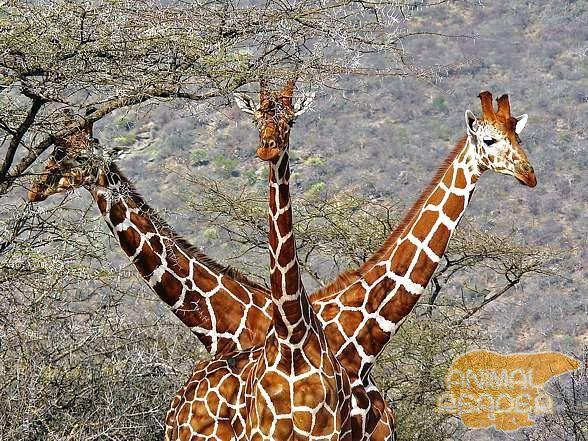 Žirafe u njihovom prirodnom staništu