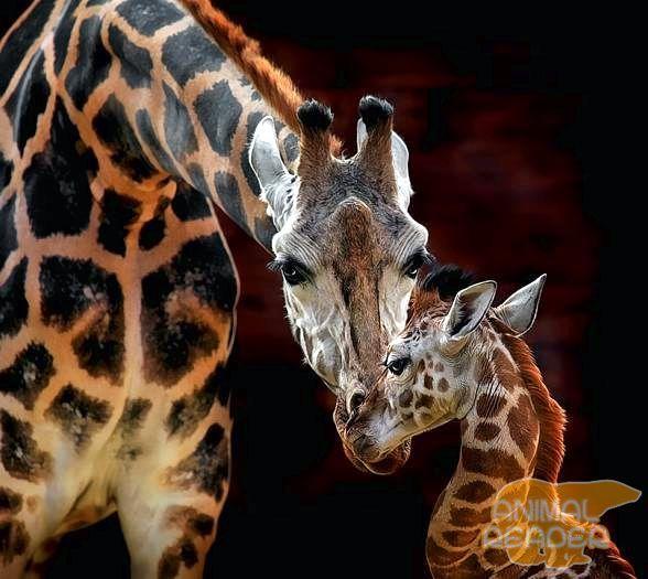 A ženski žirafa i njeno tele
