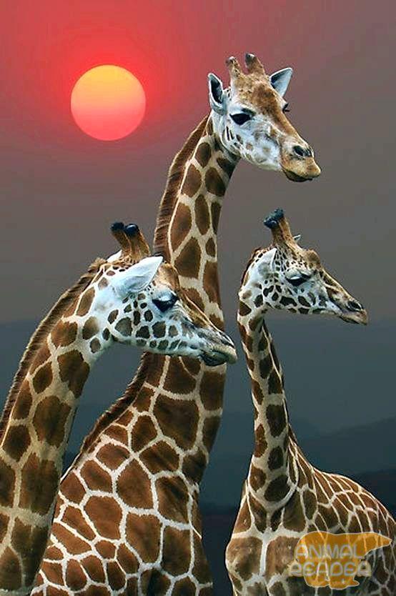 Krdo žirafa