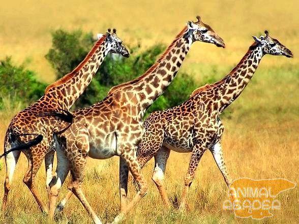 Žirafe u savane