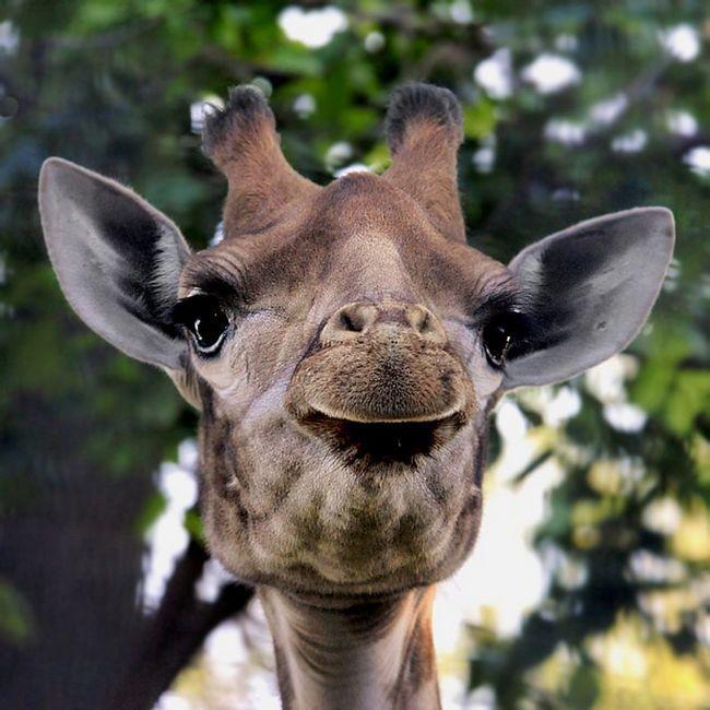 Žirafe komuniciraju jedni s drugima, emituje zujanje noću