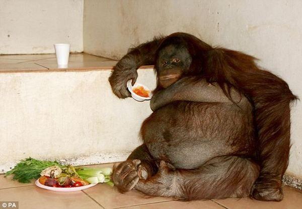 Жирный орангутан из великобритании похудел после успешной диеты