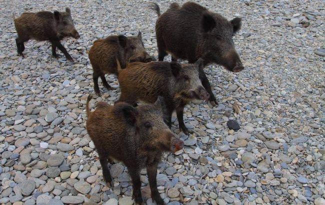 Divlje svinje ubio čovjeka u Italiji.