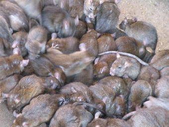 Жителям калифорнии раздадут тысячу крыс
